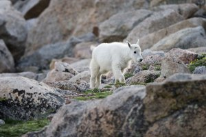 A mountain goat kid on Mount Evans near Idaho Springs, CO