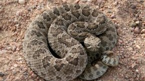 A prairie rattlesnake in Morgan County. Photo by CPW file photo.