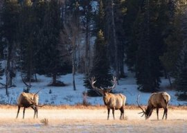 Bull-elk-in-meadow-Colorado-Parks-and-Wildlife-photo