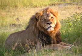 Cecil the lion is pictured in Hwange National Park, Zimbabwe, in 2010. (Daughter#3/Flickr)