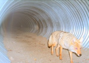 Coyote using lynx underpass, US 160 Wolf Creek Pass
