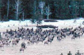Elk herd at the base of Loco Mountain.