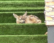 Fawn Hiding Image