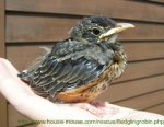 Fledgling Bird Picture