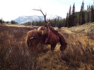 Guided Elk Hunts in Colorado