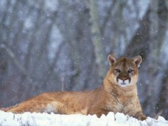 Mountain Lion Clear Creek County, Colorado ~ Mountain Lion