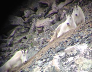 Three mature billies as seen through my spotting scope.