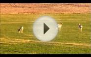Antelope and Mule Deer