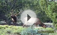 Arizona Elk Hunting- Giant Public Land Arizona Bulls!
