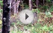 Black bear hunting. Maine, Bounty Hunter Guide Service