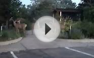 Deer Encounter in Colorado Springs, Colorado ( 2 of 3) 6