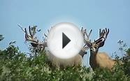 Huge Trophy Mule Deer on Henry Mountains in Utah - Offgrid