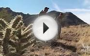 Hunting Mountain Lion with Dogs - Steven Rinella MeatEater