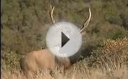 """Un-bull-ievable"" Hunting Bull Elk with MossBack"