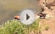 Wild Dogs Hunt and eat Red Hartebeest